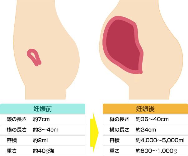 妊娠前と妊娠後の子宮の比較