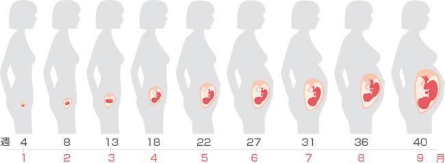 胎児の成長周期